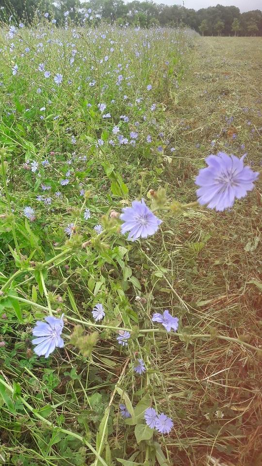 fleur-chicoree2.jpg